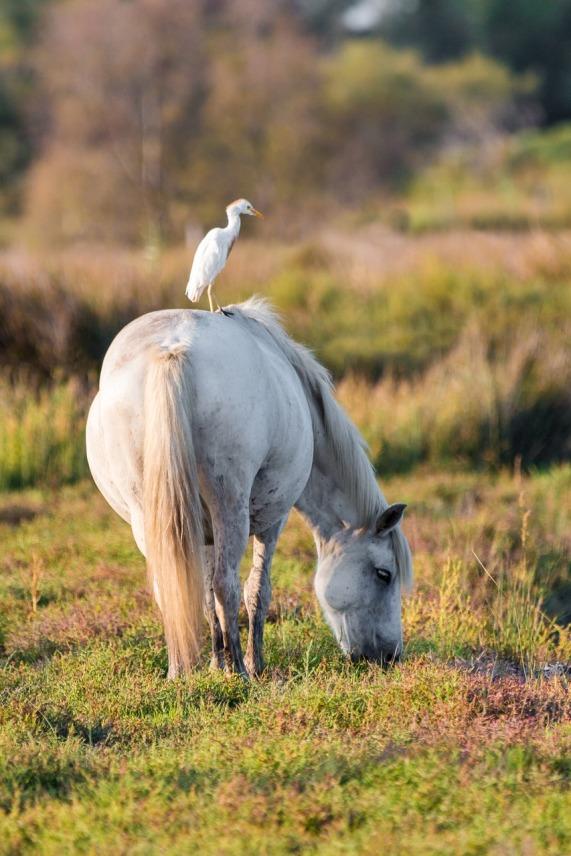 cattle-egret-2591502_1280